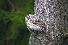 Búho el dormir en una rama del pino Fotos de archivo