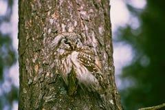 Búho en una rama del pino Imágenes de archivo libres de regalías