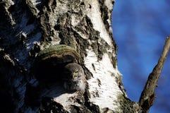 Búho enano en el hueco del árbol de abedul Foto de archivo libre de regalías