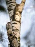 Búho enano que se encarama en el árbol de abedul Fotos de archivo libres de regalías