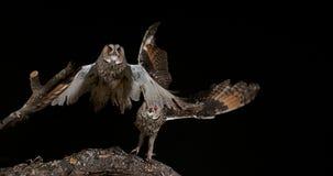 Búho espigado largo, otus del asio, adultos en vuelo, Normandía en Francia, almacen de video