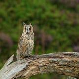 búho Largo-espigado Foto de archivo