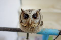 Búho lindo del bebé y sus ojos grandes Foto de archivo libre de regalías