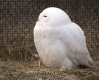 Búho masculino de la nieve en cautiverio Fotos de archivo libres de regalías