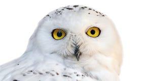 Búho nevoso blanco con los ojos amarillos aislados en el fondo blanco foto de archivo