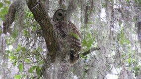 Búho obstruido en el bosque de la Florida almacen de video