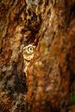 Búho ocultado en el agujero en el pequeño búho del bosque, noctua del Athene, pájaro de la jerarquía del árbol en el hábitat de l fotografía de archivo libre de regalías