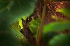 Búho ocultado en el Scrrech-búho pacífico del bosque tropical, cooperi de Megascops, pequeño búho en el hábitat de la naturaleza, fotos de archivo