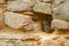 Búho ocultado en la pared de piedra, fauna urbana Pequeño búho, noctua del Athene, pájaro en el hábitat viejo de la casa de la na fotografía de archivo
