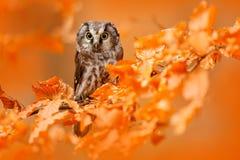 Búho ocultado en las hojas anaranjadas Pájaro con los ojos amarillos grandes Pájaro del otoño Búho boreal en el bosque anaranjado fotografía de archivo