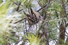 búho ocultado entre las ramas de un bosque del pino en España Imágenes de archivo libres de regalías