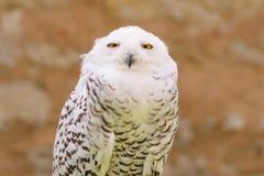 Búho salvaje despredador reservado del blanco nevoso del pájaro Imágenes de archivo libres de regalías