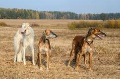 Búsqueda con los perros lobo Foto de archivo libre de regalías