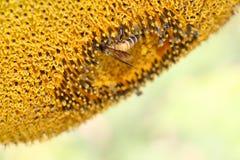 Búsqueda de la abeja Imagen de archivo