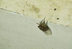Búsqueda de la cigarra para el compañero en la ejecución de la noche de verano en la pared imagenes de archivo