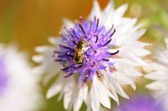 Búsqueda de la miel Fotos de archivo