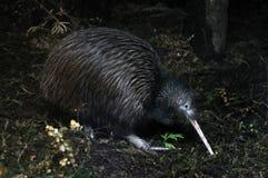 Búsqueda del kiwi Foto de archivo libre de regalías