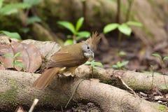 Búsqueda del pájaro del Bulbul una comida en raíz del árbol Fotografía de archivo
