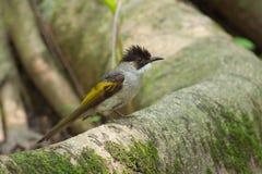 Búsqueda del pájaro del Bulbul una comida en raíz del árbol Fotos de archivo libres de regalías