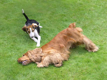 Búsqueda del perro Fotografía de archivo libre de regalías