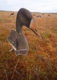 Búsqueda en un pantano con perfil del ganso Fotografía de archivo libre de regalías