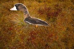 Búsqueda en un pantano con perfil del ganso Foto de archivo