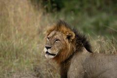 Búsqueda masculina del león imágenes de archivo libres de regalías