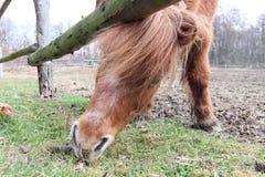 Búsqueda para la comida - un caballo en el pasto Fotografía de archivo libre de regalías