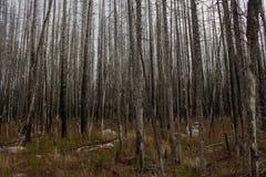 Búsqueda a través de árboles Foto de archivo libre de regalías