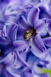Búsquedas de la abeja para el néctar en azafrán púrpura Fotos de archivo
