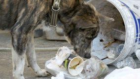 Búsquedas sin hogar, finas y hambrientas del perro en un cubo de la basura en la calle Asia, Tailandia almacen de metraje de vídeo