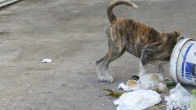 Búsquedas sin hogar, finas y hambrientas del perro en un cubo de la basura en la calle Asia, Tailandia almacen de video