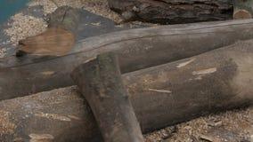 Bûcheron à l'aide de la tronçonneuse sciant le bois sec se trouvant sur la terre Mouvement lent banque de vidéos