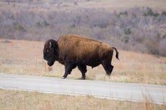 Büffel-Überfahrt-Straße in Oklahoma lizenzfreie stockfotografie
