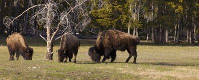 Büffel stockbilder