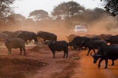 Büffel Stockfotografie