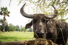 büffel Stockfotos