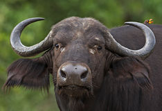 Büffel Lizenzfreies Stockfoto