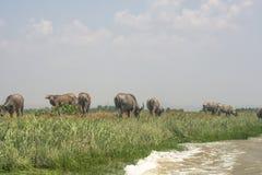 Büffel aß Gras im Ackerland und Stellung in der Seite von Fluss, Mrauk u Myanmar Stockbilder
