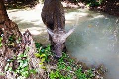 Büffel in Asien lizenzfreie stockfotografie
