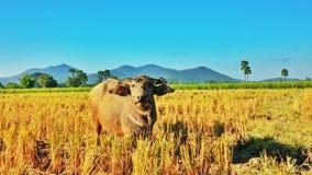 Büffel auf Bauernhof stockbilder