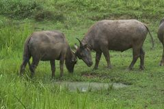Büffel auf dem Feld stockbilder