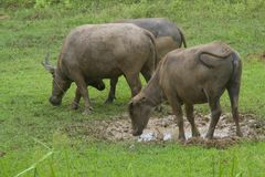 Büffel auf dem Feld stockfoto