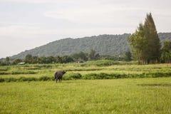 Büffel auf dem Gebiet Lizenzfreie Stockbilder