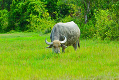 Büffel auf dem grünen Gebiet Stockfotos