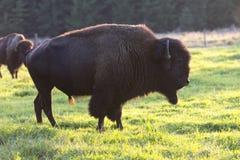 Büffel auf dem Gras Lizenzfreies Stockfoto