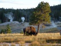 Büffel auf dem Grasland lizenzfreies stockbild