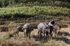 Büffel auf den Gebieten von Thailand Lizenzfreies Stockfoto