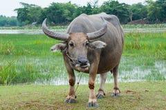 Büffel auf den grünen Gebieten lizenzfreie stockfotografie