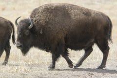 Büffel auf den Großen Ebenen Stockbild